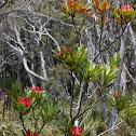 Tasmanian waratah