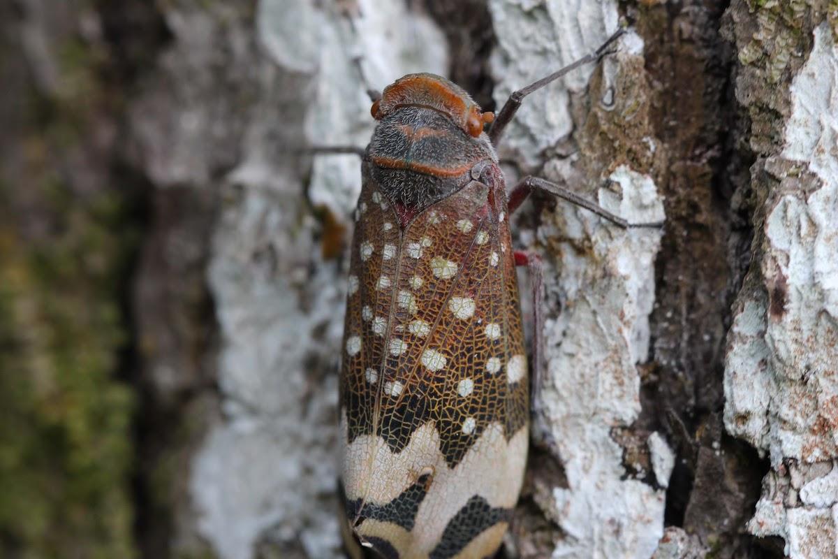 Fulgorid planthopper