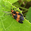 Banded net-wing beetle (mating)