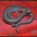 Zigzag Salamander (lead phase)