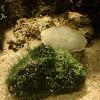 Boi de mar albino (gl), Buey de mar albino (es), edible crab or brown crab white (uk)
