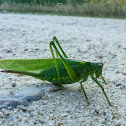 Great Bush Cricket