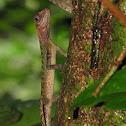 Earless agamid
