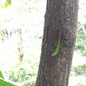 Roatan Anoli Lizard (Allison's Anole)