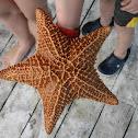 Caribbean Starfish