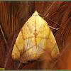 Transverse Moth