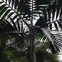 Palmeira rubra