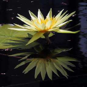 Yellow Reflections by Sandra Blair - Flowers Flowers in the Wild ( plant, water, nature, lily, lily pad,  )