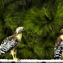 Red-shouldered hawk Florida subspecies (juvenile)