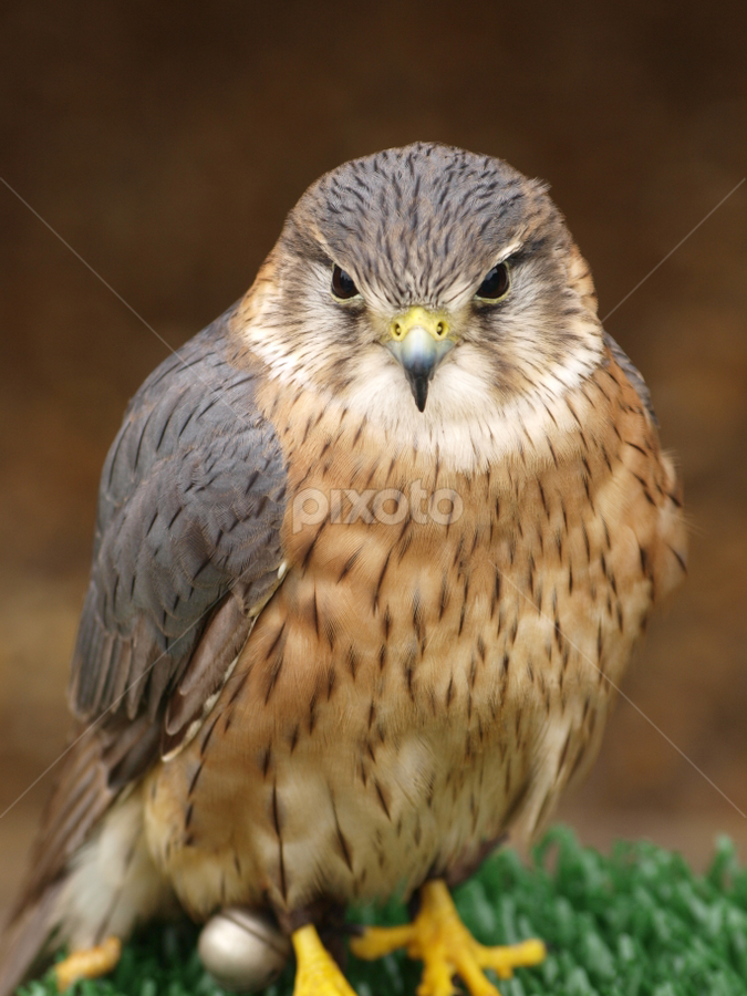 Merlin2 by Garry Chisholm - Animals Birds ( nature, wildlife, prey, raptor, merlin, kestrel, chisholm, garry )