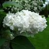Lilo blanco. White lilac