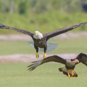 Eagle vs Caracara by Rich Eginton - Animals Birds ( eagle, chasing, conflict, in flight, crested caracara,  )