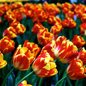 Tulips in Washington D.C. by Jermaine Pollard - Flowers Flower Gardens ( washington, orange, red, park, marriott, outdoors, white, yellow, tulips, hotel )