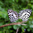 The Common Pierrot pair