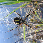 Garden Spider (black and yellow)