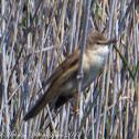 Great Reed Warbler; Carricero Tordal