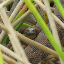 Brown Water Snake