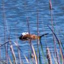 White-headed Duck; Malvasía