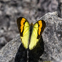 Yellow Orange Tip
