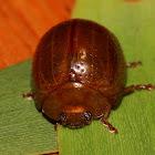 Blackwood tortoise beetle