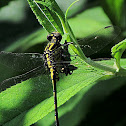 Ashy Clubtail Dragonfly