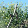 Loica, Long-tailed Meadowlark