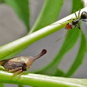 Membracid Treehopper and Ant