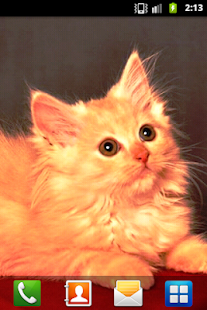 Persian Cat Wallpaper - screenshot thumbnail