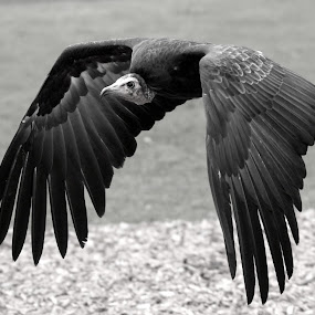 Vulture by Ralph Harvey - Black & White Animals ( bird, vulture, wildlife, ralph harvey, longleat,  )
