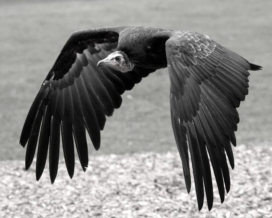 Vulture by Ralph Harvey - Black & White Animals ( bird, vulture, wildlife, ralph harvey, longleat,  )