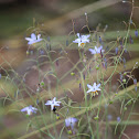 Black Anther Flax-lily