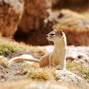 Altai weasel