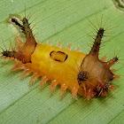 Limacodid Caterpillar