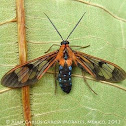 Orange Wasp Moth