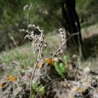 Cyperus rotundus (Juncia)