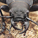Greater Night-stalking Tiger Beetle