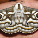 Southern Marbled Emperor