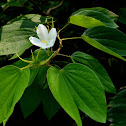 Dwarf White Bauhinia, White Orchid-tree