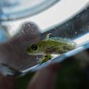 Pygmy marbled newt