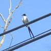 Fork-tailed Flycatcher Andorinha rabo de tesoura