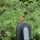 Freddie the European Robin