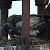 Indian/Longbilled Vulture
