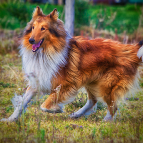 collie running by Cristobal Garciaferro Rubio - Animals - Dogs Running ( runner collie, field dog, dog, running )