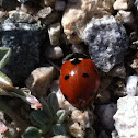 Seven-spotted Ladybird