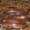 Black-striped Snake