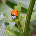 Covergent Ladybug