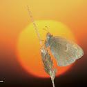 The Small Heath-Nymphalidae