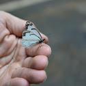 Pine Butterfly