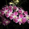Dendrobium Orchid.