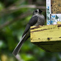Tufted Titmouse (Black-Crested Morph.)